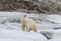 The polar bear stand on the ice sheet. On the shores of the Spitsbergen archipelago stock photo