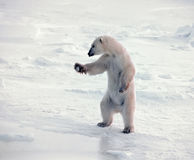Polar bear standing royalty free stock image
