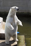Polar bear standing Stock Image