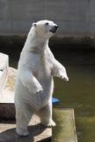 Polar bear standing. On its hind legs Stock Image