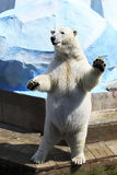 Polar bear standing on its hind legs. Royalty Free Stock Photos