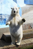 Polar bear standing. On its hind legs (dancing Royalty Free Stock Photo