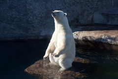 Polar bear standing on the rock. Near the water in Zoo Stock Photos