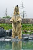 Polar bear standing upright. Polar bear with reflection standing upright at the waterside Stock Photography