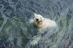 Polar bear standing in the water. View of polar bear standing in the water stock photos