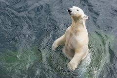 Polar bear standing in the water. View of polar bear standing in the water stock photo