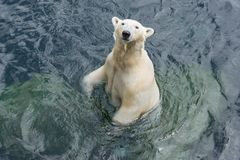 Polar bear standing in the water. View of polar bear standing in the water stock image