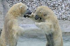 Polar Bear Standoff Royalty Free Stock Photos