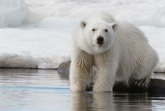 Polar bear stands paws in the water. Near the shore of the Spitsbergen archipelago stock image