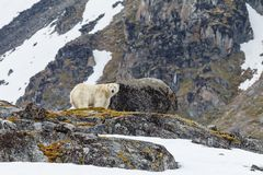 A polar bear stands on the stony hill of the Spitsbergen archipelago. A polar bear stands on the stony snow-capped hill of the Spitsbergen archipelago royalty free stock photos