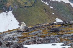 A polar bear stands near the stony snow-capped hill. A polar bear stands on the stony snow-capped hill of the Spitsbergen archipelago stock image