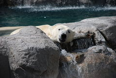 Polar Bear Sticking Tongue Out. A polar bear lazily sticks his tongue out at the viewer as he rests on rocks and a little waterfall Stock Image