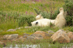 Polar Bear stretching in the bushes 1 Stock Photo