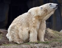 Polar Bear Stretching. This is an early Spring picture of a large male Polar Bear stretching his neck out in his compound at the Lincoln Park Zoo located in Royalty Free Stock Images