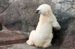 Polar bear stretching its neck. Beautiful playful polar bear sitting with its back to camera and bending neck. Comfortable position. Showing its flexibility Royalty Free Stock Images