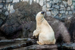 Polar bear stretching its neck and rubbing belly. Polar bear scratching its belly on a wall making a funny, cute and comfortable pose Royalty Free Stock Photo