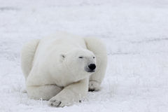 Polar Bear in Sub Arctic on Hudson Bay Manitoba Royalty Free Stock Photography