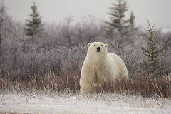 Polar Bear in Sub Arctic on Hudson Bay Manitoba Royalty Free Stock Photos