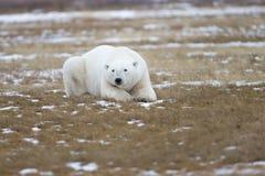 Polar Bear in Sub Arctic on Hudson Bay Manitoba Stock Photo