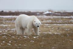 Polar Bear in Sub Arctic on Hudson Bay Manitoba Royalty Free Stock Photo