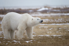 Polar Bear in Sub Arctic on Hudson Bay Manitoba Royalty Free Stock Image
