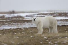 Polar Bear in Sub Arctic on Hudson Bay Manitoba Royalty Free Stock Photography