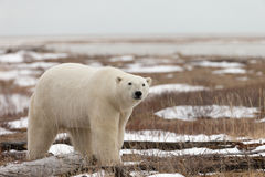 Polar Bear in Sub Arctic on Hudson Bay Manitoba Stock Image