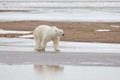 Polar Bear in Sub Arctic on Hudson Bay Manitoba Stock Photos