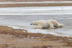 Polar Bear in Sub Arctic on Hudson Bay Manitoba Stock Images