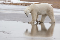 Polar Bear in Sub Arctic on Hudson Bay Manitoba Royalty Free Stock Images