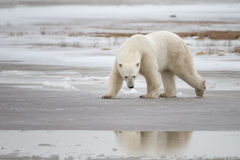 Polar Bear in Sub Arctic on Hudson Bay Manitoba Stock Photography