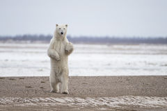 Polar Bear in Sub Arctic on Hudson Bay Manitoba. Adult Polar Bear in Sub Arctic on Hudson Bay Manitoba near Frazier River Royalty Free Stock Photography