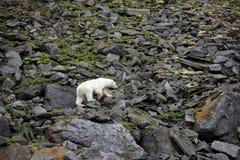 Polar bear in summer Arctic stock images