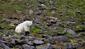 Polar bear in summer Arctic Stock Photography