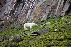 Polar bear in summer Arctic Stock Image