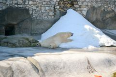 The Polar Bear-Summertime- Moscow Zoo-Russia Royalty Free Stock Photos