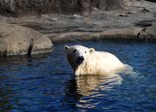 Polar Bear Sun bathing. A polar bear sits in the sun looking into a pond of water Royalty Free Stock Images