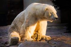Polar bear sunbath. Polar bear sitting relaxed in the sunset Royalty Free Stock Images