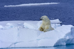 Polar bear sunbathes Royalty Free Stock Image