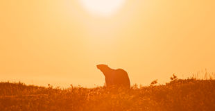 Polar Bear in the sunset Royalty Free Stock Photo