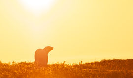 Polar Bear in the sunset Royalty Free Stock Image