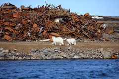 Polar bear survival in Arctic Stock Photos