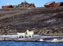 Polar bear survival in Arctic Royalty Free Stock Photo
