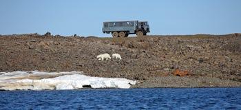 Polar bear survival in Arctic Stock Image