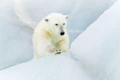 Polar bear at Svalbard Stock Photography