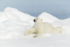 Polar bear at Svalbard Royalty Free Stock Photos