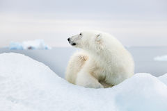 Polar bear at Svalbard Royalty Free Stock Images
