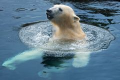 Polar bear swim royalty free stock photos