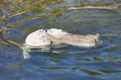 Polar bear swimming with his cub on the water. Royalty Free Stock Photo