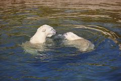 Polar bear swimming with his cub on the water Royalty Free Stock Images
